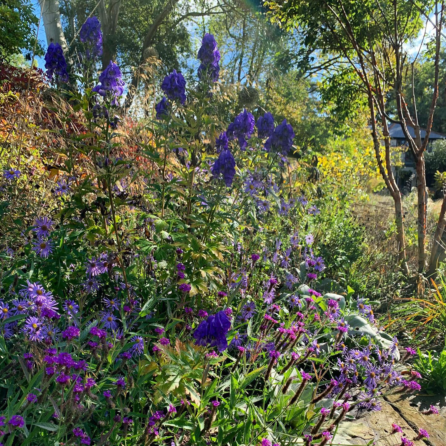 Aconites are stealing the show in my Autumn garden, the rich blues along with the purples and mauves of asters and verbena are a great compliment to the autumnal oranges and yellows of the surrounding foliage.