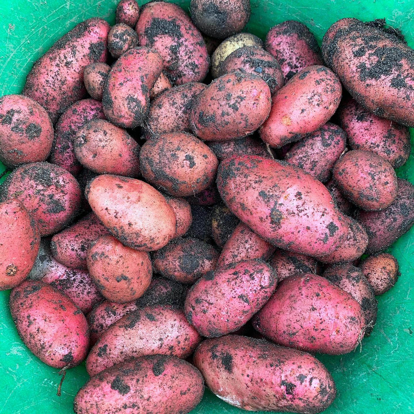 Digging the remaining potatoes. Ruby nuggets of spud goodness. Desiree potatoes 🥔