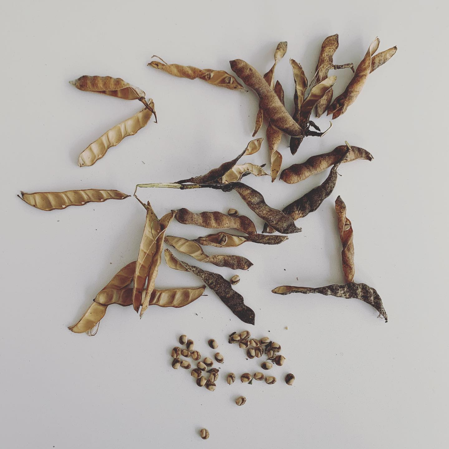 It's that time of year... seed collecting. Time to go around the garden collecting ripe annual and perennial seeds. Make sure nice and dry (difficult today 🌧), remove outer casings of pods or other dead material from the flower...store in a sealed envelope somewhere cool and dry to sow in early spring... or I'm sowing a whole lot now and keeping in a cool greenhouse, maintaining a little moisture through Winter so fingers crossed they germinate as soon as it warms up next year!