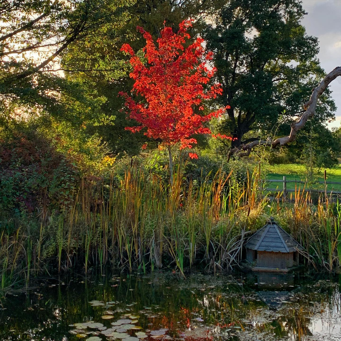 TOP TIP Plant trees with Autumn colour where low setting westerly sunlight will backlight them illuminating them like torches.  Acer freemanii 'Autumn Blaze'