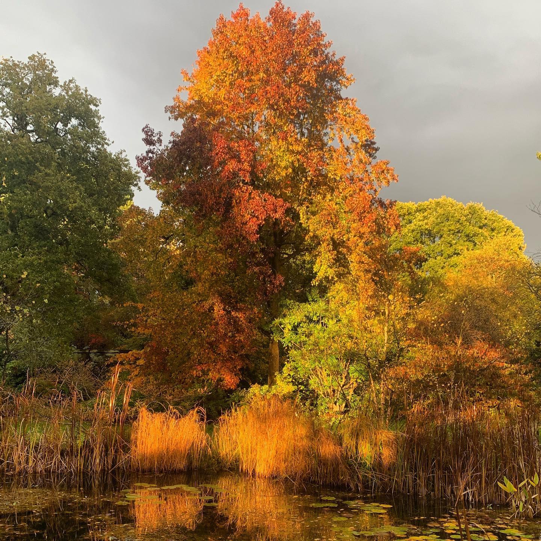 Beautiful light after the rain. Stunning Liquidambar styraciflua king of the Autumn foliage fanfare doing his thang!